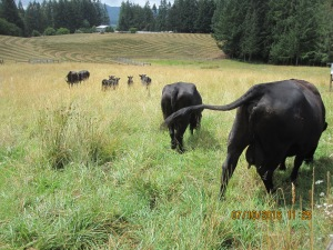 A small herd of black angus cows with calves.