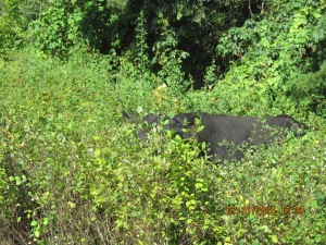 A black angus calf barely seen inside the thick brush.