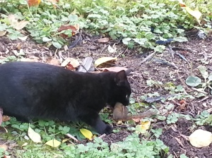 A black cat with a chipmunk in his mouth.
