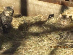Kittens move into the hay manger for a bit of lounge time.