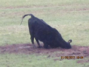 Black Angus cow rubbing her head in mud.