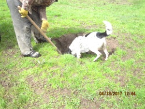 A black and white dog with his head in a hole in a pasture.