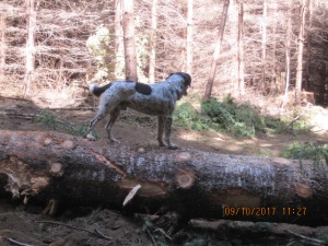 A black and white dog stands on a log.