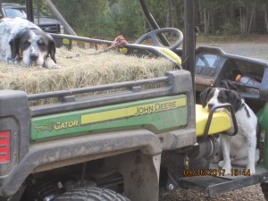Two dogs wait to feed hay loaded in Gator.