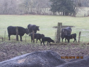 A newborn Angus calf on the wrong side of fence.