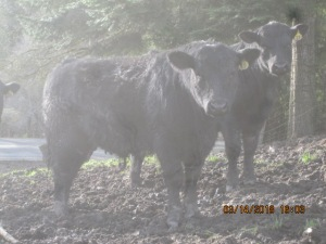 Yearling Black Angus Bull