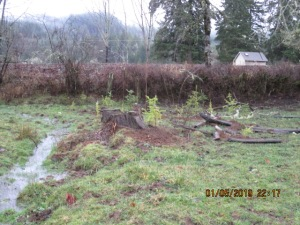 Seedlings planted in wet riparian area.