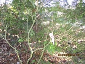 Twigs of a dormant vine maple.